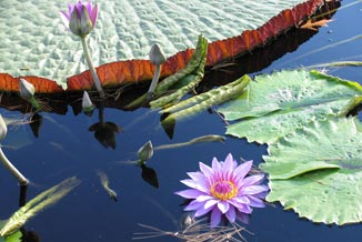 another aesthetically pleasing photo of water lilies in a pond