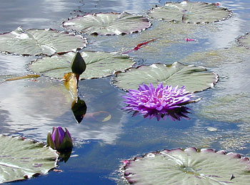 purple sinking water lily