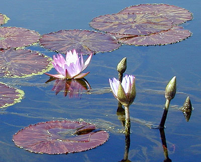 two lavender water lilies and dark lily pads