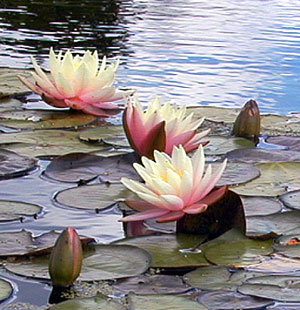 three cream and rose colored waterlilies